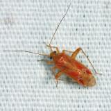 Phytocoris diversus