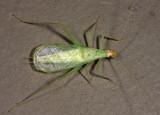 Snowy Tree Cricket - Oecanthus fultoni