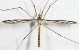 Tipula furca