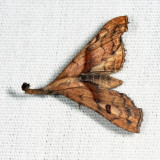 8397 - Dark-spotted Palthis - Palthis angulalis