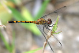 Seaside Dragonlet - Erythrodiplax berenice (female)