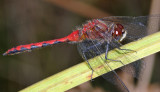 White-faced Meadowhawk - Sympetrum obtrusum (male)