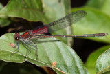 male American Rubyspot (Hetaerina americana)