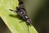Tritoxa flexa  (Black Onion Fly)