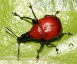 Leaf-rolling Weevils - Attelabidae