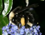 Yellow-faced Bumble Bee - Bombus vosnesenskii