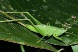 Conehead Katydid - Neoconocephalus sp.