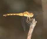Autumn Meadowhawk - Sympetrum vicinum (female)