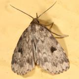 8430 -- Masked Parahypenodes Moth -- Parahypenodes quadralis