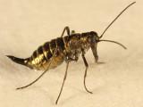 female Snow Scorpionfly - Boreus brumalis