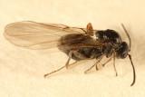 Gall Wasp (Cynipidae)