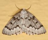 6906 - False Hemlock Looper - Nepytia canosaria (male)