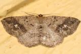 6812 - Pale Homochlodes - Homochlodes fritillaria
