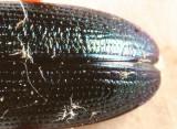 Plateumaris sp.