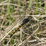 Seaside Dragonlet - Erythrodiplax berenice