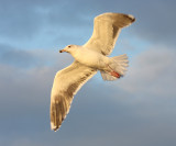 Great Black-backed Gull in flight (late afternoon)