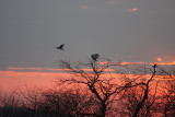 Snowy Owl - Nyctea scandiaca & Northern Harrier interaction at Sunset