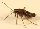 Snow Scorpionfly - Boreus nivoriundus