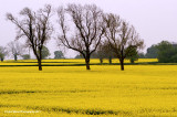 Three Bare Trees In Canola / Rapeseed