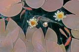 Koi  Lillies 01576.jpg
