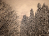 Winter White Cedar  Maple 0124.jpg