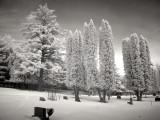 Winter White Pine  Cedars 0100.jpg