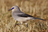 Ethiopia: birds - (regional) endemics & specialties