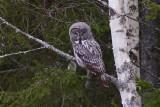 IMG_7173great grey owl.jpg