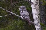 IMG_7198great grey owl.jpg