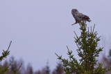 IMG_7251great grey owl2.jpg
