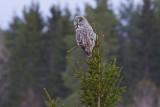IMG_7275great grey owl2.jpg