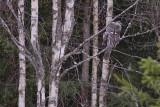 IMG_7110great grey owl2.jpg