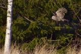 IMG_7539ural owl2.jpg