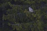 IMG_7546ural owl2.jpg