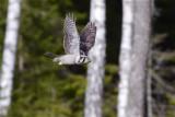 IMG_7948hawk owl4.jpg