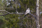 IMG_8042hawk owl2.jpg