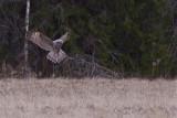 IMG_7306great grey owl.jpg