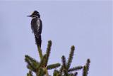 IMG_7657three-toed woodpecker3.jpg