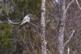 IMG_8027hawk owl.jpg