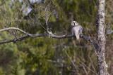 IMG_8022hawk owl.jpg
