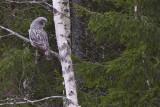 IMG_7213great grey owl.jpg