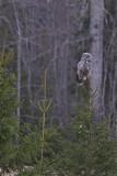 IMG_7083great grey owl.jpg