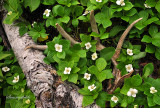 ** 223.5 - Bunchberry (Canadian Dogwood) Flowers with Deer Antler