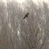 Ruigpootbuizerd / Rough-legged Buzzard