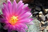 Cactus 630