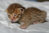 Chocolatespotted female 3, 2 weeks old