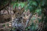 Leopard at Wilpattu