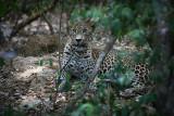 Leopard022.JPG