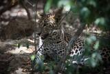 Leopard047.JPG