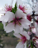 2011 Almond Blossom